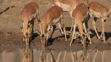 Impala antelopes drinking — Vídeo Stock