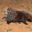 Stock Photo: Cape porcupine