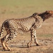 Stock Photo: Alert Cheetah