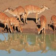Nyala antelopes drinking — Stock Photo #33231279