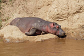 Hippopotamus resting — Stock Photo