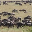 Wildebeest migration — Stock Video
