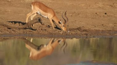 Impala antelope drinking — Stok video