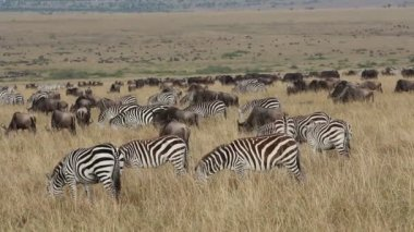 Wildebeest and zebras grazing — Stock Video