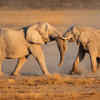 African elephants fighting — Stock Photo