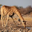 Giraffe drinking water — Stock Photo