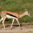 Stock Photo: Thomsons gazelle