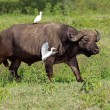 African buffalo with egrets — Stock Photo