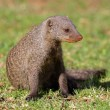 banded mongoose — Stock Photo