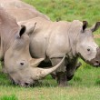 White rhinoceros feeding — Stock Photo