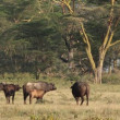 African buffalos — Stock Video
