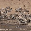 Plains Zebras drinking — Stock Video #35095185