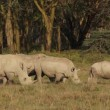 Stock Video: White rhinoceros