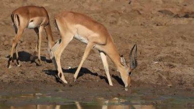 Impala-antilope, die trinken — Stockvideo