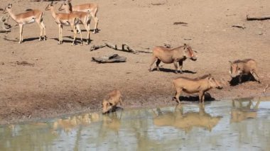 Warthogs and impala antelopes — Stok video