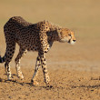 Alert Cheetah — Stock Photo #35579539