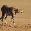 Alert Cheetah — Stock Photo