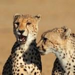 Cheetah portrait — Stock Photo #35579541