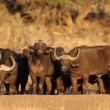 Stock Video: Africbuffaloes