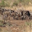 Blue wildebeest — Stock Video