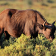Stock Photo: Africbuffalo