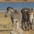 Plains Zebras — Stock Video