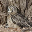 Spotted eagle-owl — Stock Video