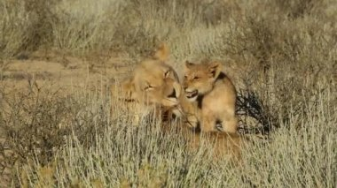 Lioness with cubs — Stock Video