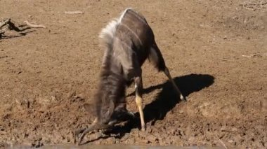 Nyala antelope spelen — Stockvideo