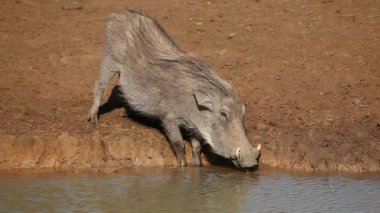 Warthog drinking — Stock Video
