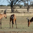 Stock Video: Interacting red hartebeest