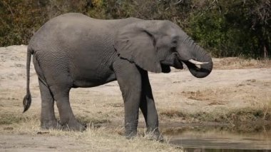 African elephant drinking — Stock Video