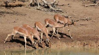 Antylop impala picia — Wideo stockowe