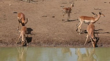 Impala antelopes drinking — Stok video