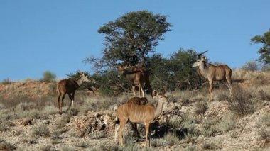Kudu-antilopen — Stockvideo