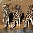 Plains Zebras drinking — Stock Video #38078297