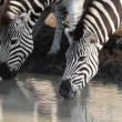 Plains Zebras drinking — Stock Video #38078317