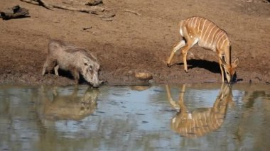 Warthog and nyala antelope drinking — Stock Video