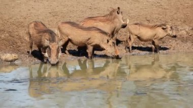 Warthogs at the waterhole — Stock Video
