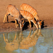 Nyala antelopes drinking — Stock Photo #38231733
