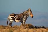 Cebra de montaña del cabo — Foto de Stock
