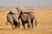 Mating African elephants — Stock Photo