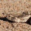 Defensive puff adder — Stock Video