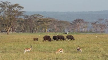 Grazing buffaloes and gazelle — Stock Video