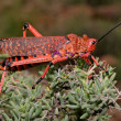 Pyrgomorphid grasshopper — Stock Photo #38640885