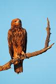 Aigle fauve — Photo