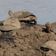 Stock Video: Helmeted terrapins