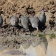 Stock Video: Helmeted guineafowls