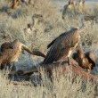 Stock Video: Scavenging white-backed vultures