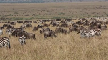 Wildebeest and plains zebras grazing — Stock Video